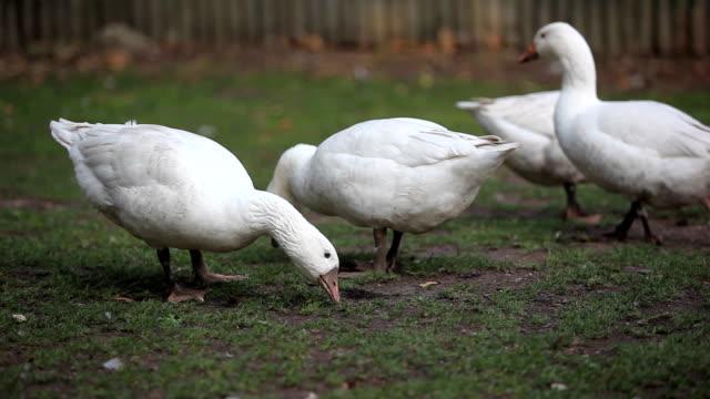 Geese on the organic farm