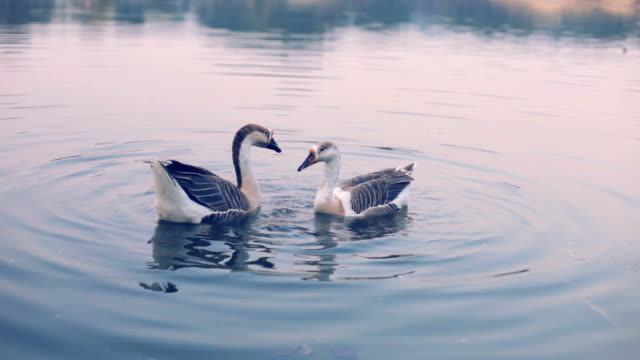 Geese swimming and dabbing in pond at twilight.