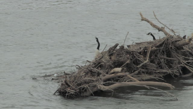 MS Geese using driftwood and debris for a nesting ground / United States