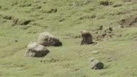 Gelada baboon (Theropithecus gelada) grazes on grassy hillside, Ethiopia