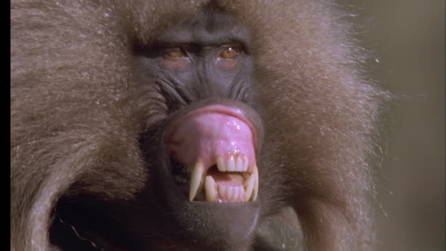 Gelada face as it lip flips at passing male then walks out of shot. Available in HD.