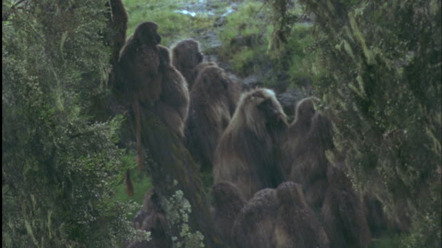Gelada troop huddles together to shelter from hail. Available in HD.