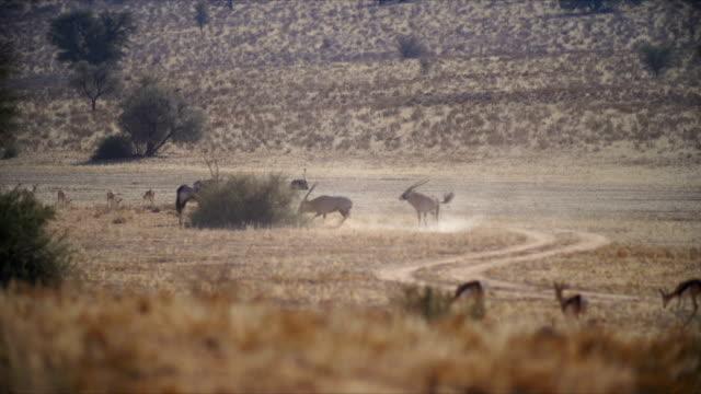 WS PAN Gemsboks and Springboks running in savannah/ Namibia