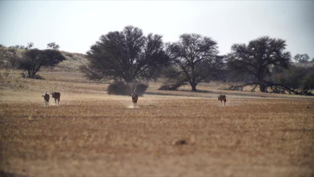 WS Gemsboks (Oryx gazella) walking in savannah / Namibia