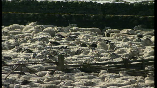 Dumfries Galloway Beattoch Woodford Farm EXT Sheep crowded together in pens PAN / sheep in pens ZOOM IN / general views of farm buildings / warning...