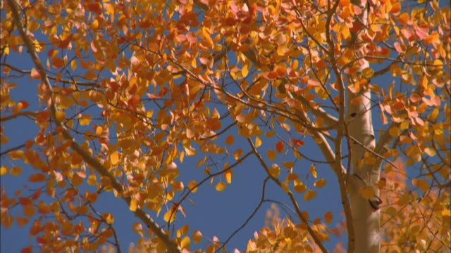 A gentle breeze stirs the golden leaves of a tall aspen. Available in HD.