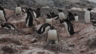 Gentoo penguin (Pygoscelis papua) adult feeds chicks, Antarctica