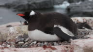 Gentoo penguin (Pygoscelis papua) adult lying down, Antarctica