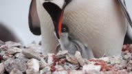 Gentoo penguin (Pygoscelis papua) adults on two nests close together, Antarctica