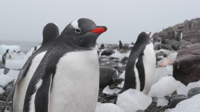 Gentoo Penguin amongst pieces of ice on Antarctic beach