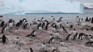 Gentoo penguin (Pygoscelis papua) close adult feeds chicks, Antarctica