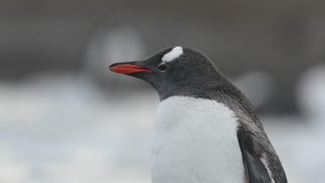 Gentoo Penguin close-up, Antarctica