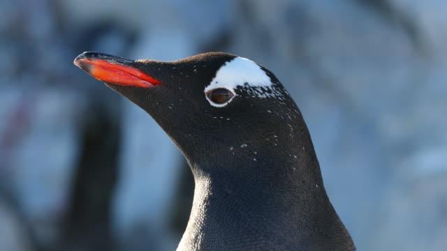 Gentoo Penguin closeup headshot