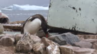 MS TS Gentoo Penguin collecting rocks for nest building / Antarctica