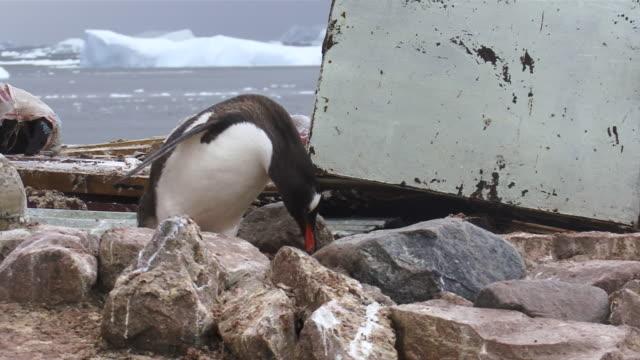 MS TS Gentoo Penguin collecting rocks for nest building / Antarctica