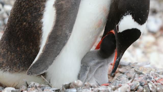 Gentoo Penguin feeding its Chick on nest