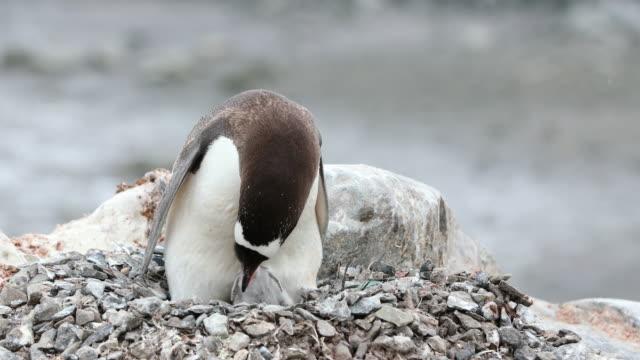 Gentoo Penguin feeding its chick on the nest