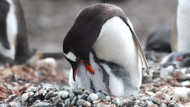 Gentoo Penguin feeding its two young chicks