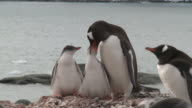 Gentoo penguin (Pygoscelis papua) feeds chicks. Cuverville Island, Antarctic Peninsula