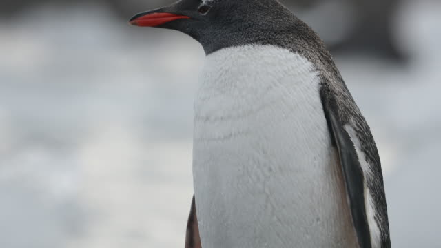 Gentoo Penguin, panning up from feet to head