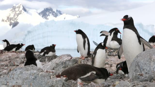 Gentoo Penguin Rookery, Antarctica