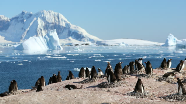 Gentoo Penguin rookery on Cuverville Island, Antarctica