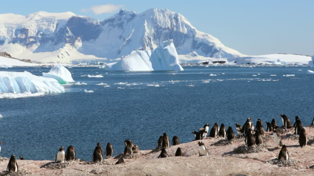 Gentoo Penguin rookery on Cuverville Island
