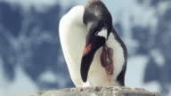 Gentoo Penguin scratching