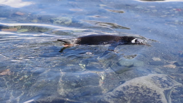 Gentoo Penguin swimming in shallow water