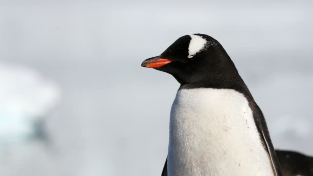 Gentoo Penguin upper body, clean background