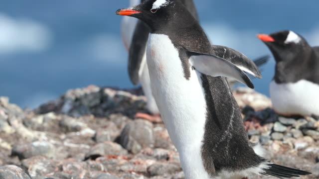 Gentoo Penguin walking through a Rookery