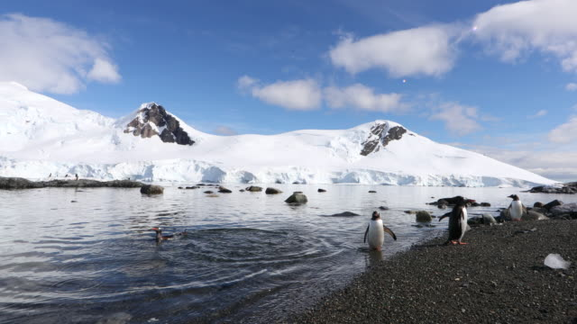 Gentoo Penguins at the Water's Edge