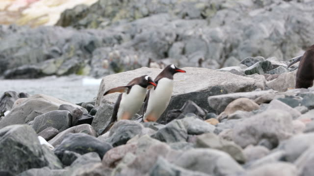 Gentoo Penguins leaving the water's edge