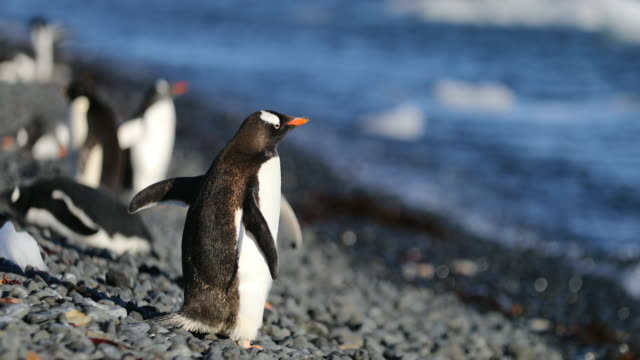 Gentoo Penguins on beach at Brown Bluff, Antarctica