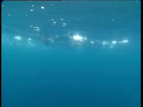 Gentoo penguins surface then dive down past camera trailing bubbles, Port Lockroy