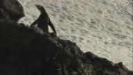 MS, PAN, Gentoo Penguins (Pygoscelis papua) walking on snow, Antarctica