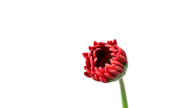 Gerbera Blumen in Timelapse