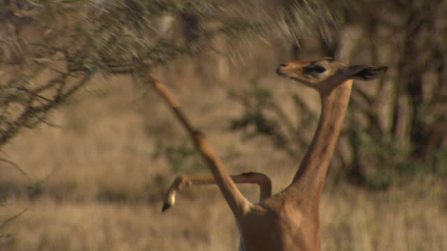 Gerenuk (Litocranius walleri) standing on hindlegs to browse, Kenya
