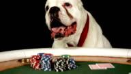 HD DOLLY: German Boxer Playing Poker