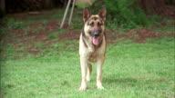 MS German sheperd dog barking and running with second germen sheperd in backyard