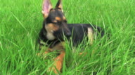 German shepherd, dog, puppy