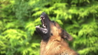 CU SLO MO German Shepherd, male dog Yapping / Normandy, France