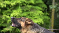 CU SLO MO German Shepherd, Male Yapping / Normandy, France, Europe