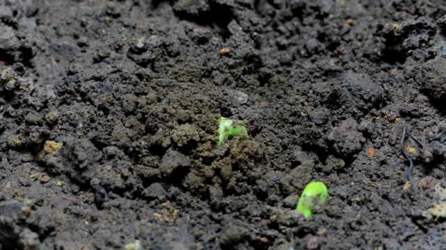 Germinating plant, Time Lapse