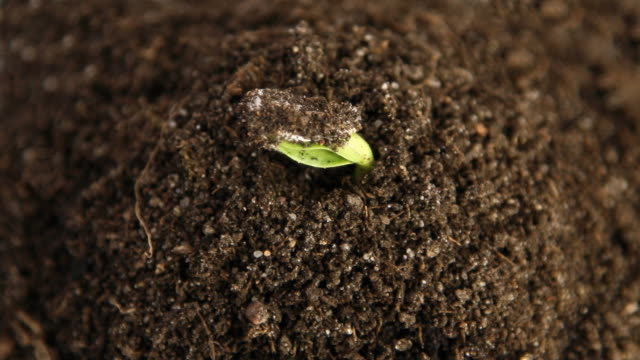 germinating plants, time lapse