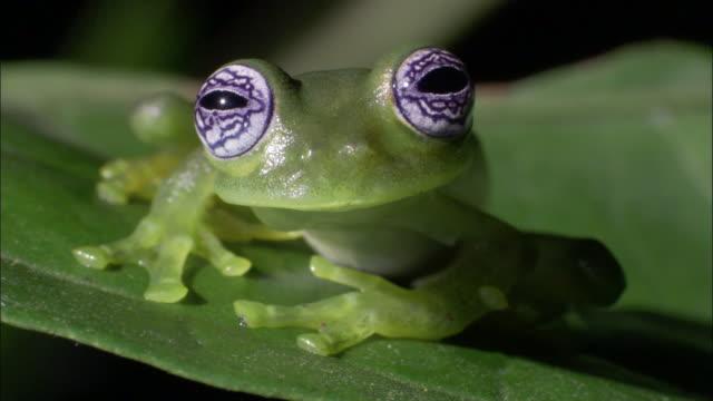 Ghost glass frog (Centrolenella ilex) on leaf, Costa Rica