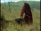 Giant Anteater attacks large termite mound, Brazil
