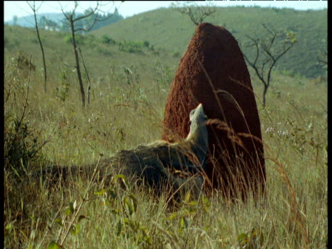 Giant Anteater attacks large termite mound, Brazil