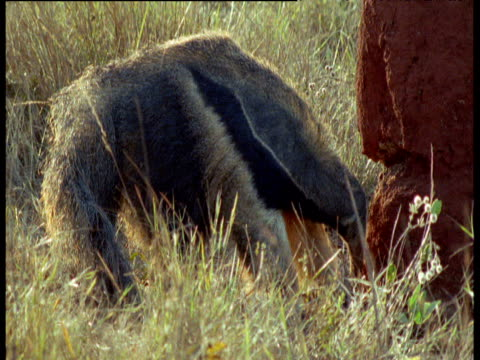 Giant Anteater breaks into termite mound and eats termites, Brazil