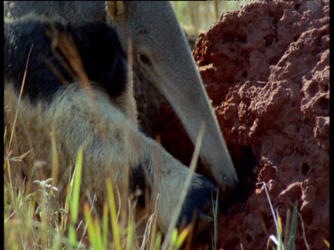 Giant anteater digs at termite mound then walks towards camera, Brazil
